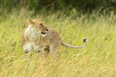 lioness walking her five cubs through Kenyas Masai Mara