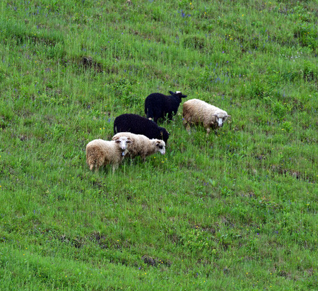 Sheep grazing in a pasture in the spring photo