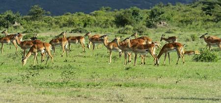 grants: Afrikanskfy Grants gazelle in their natural habitat. Kenya. Stock Photo