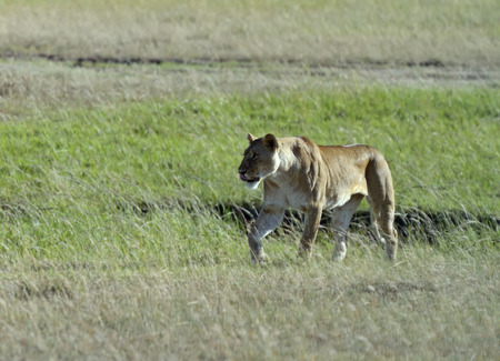 big slick: lioness walking her five cubs through Kenyas Masai Mara