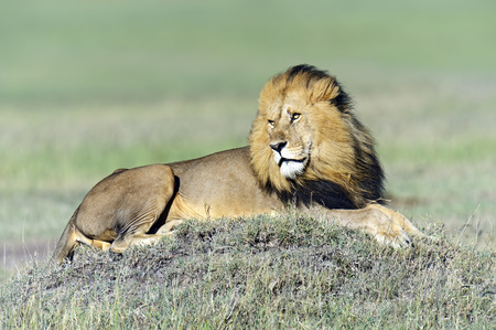 Male Lion poses in golden light (Panthera Leo), Masai Mara, Kenya  photo
