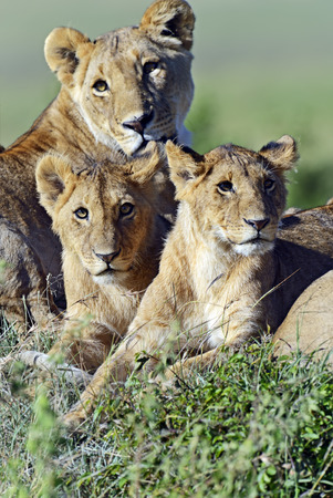 dangerous lion: lioness walking her five cubs through Kenyas Masai Mara