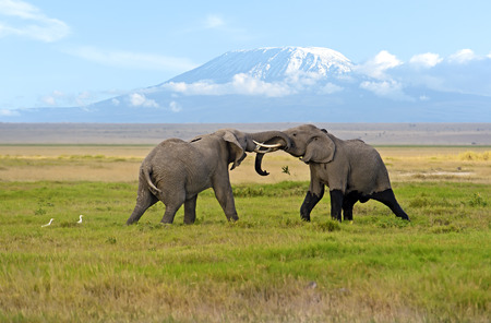 Two male elephant conflict in Amboseli Park photo