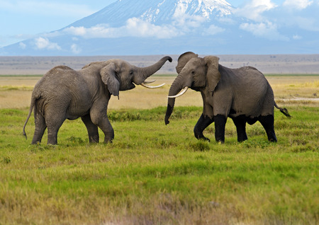 shroud: Two male elephant conflict in Amboseli Park