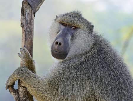omnivores: Baboons in the natural habitat. Africa