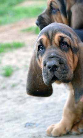 bloodhound: Photo of Bloodhound puppy dog with sad hound look Stock Photo