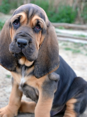 bloodhound: Photo of Bloodhound puppy dog with sad hound look Stock Photo
