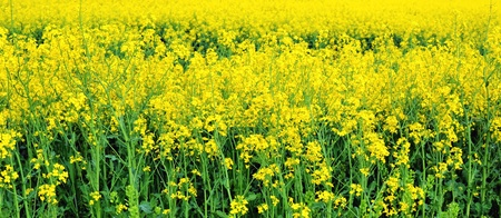 Rapeseed field background photo