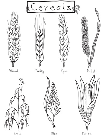 Cereals hand-drawn illustration - wheat, barley, rye, millet, oat, rice, maize Vector