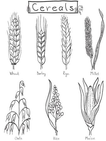 ječmen: Obiloviny ručně kreslené ilustrace - pšenice, ječmen, žito, proso, oves, rýže, kukuřice