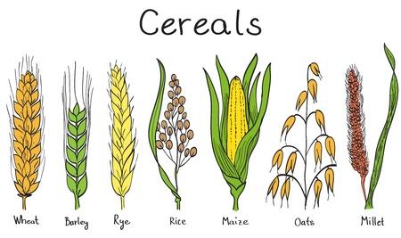 Céréales à la main illustration tirée - blé, orge, seigle, millet, avoine, riz, maïs Vecteurs