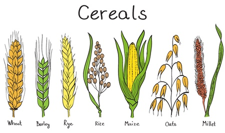 Cereales dibujado a mano ilustración - trigo, cebada, centeno, mijo, avena, arroz, maíz Ilustración de vector