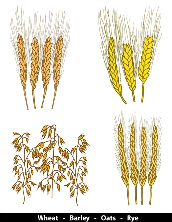 oat field: Cereals illustration - wheat, barley, oats and rye