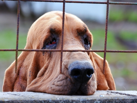 bloodhound: Sad dog bloodhound looking through the bars Stock Photo