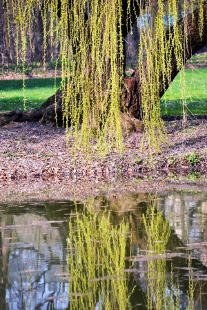 weeping willow: Twigs of willow tree reflected on the surface of pond