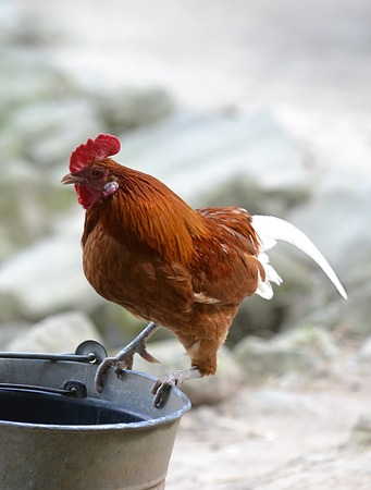 cockrel: rooster sitting on a bucket in the yard