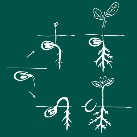 plant seed: Illustration of growing plant seed  doodle style Illustration