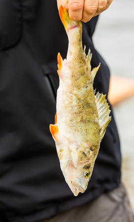 freshwater fish: Dead freshwater fish hanged in the hand