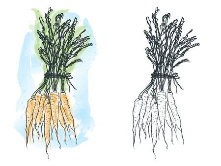 Illustration of hand drawn carrot , watercolor artwork