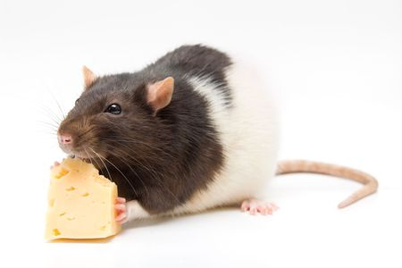 Home rat eating tasty cheese isolated on white