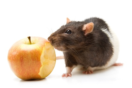 Home rat eating yellow apple isolated on white Stock Photo