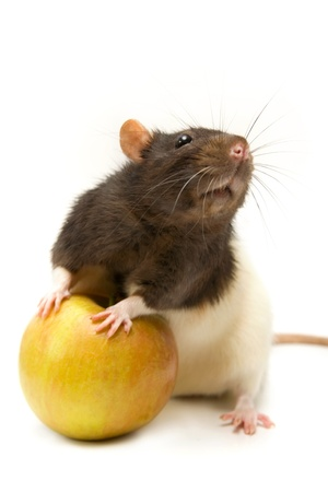 Home rat with yellow apple isolated on white Stock Photo