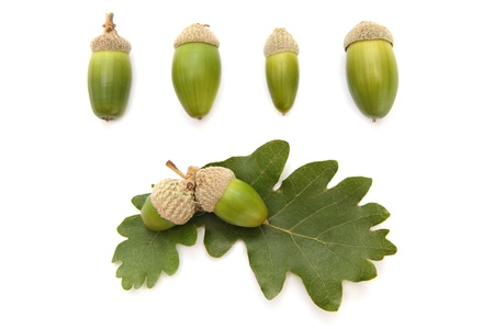 Set of acorns and oak leaves isolated on white photo