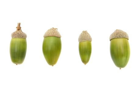 Four bright green acorns isolated on white background photo