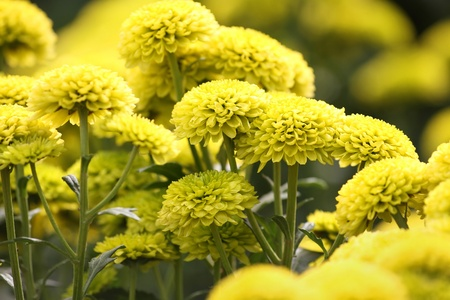 Beautiful yellow chrysanthemum flowers forming a background photo