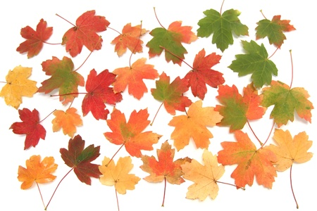 Bright multi-colored autumn leaves on white  background