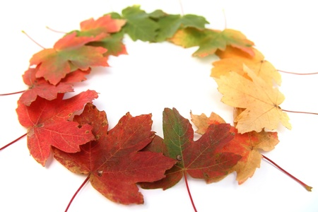 Close-up of autumn multi-colored maple leaves - isolated on white