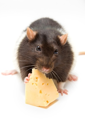 Rat eating cheese isolated on white