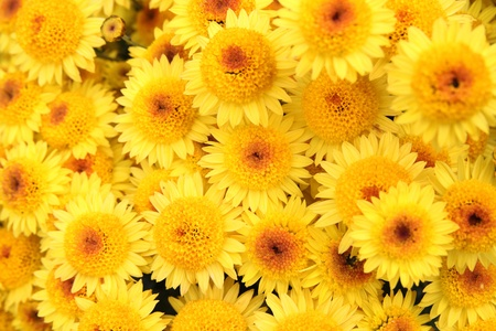 Beautiful bright yellow chrysanthemum  flowers as bakground Stock Photo