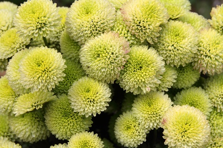 chrysanthemum  flowers of unusual color forming a background