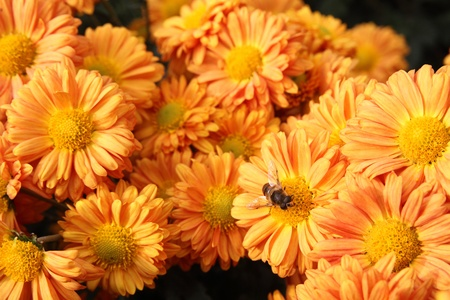 Autumn bright colored chrysanthemum flowers with bee as background