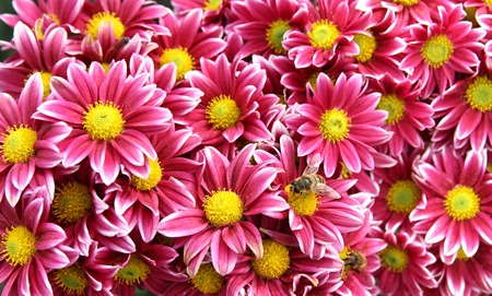 Autumn bright colored chrysanthemum flowers with bees as background