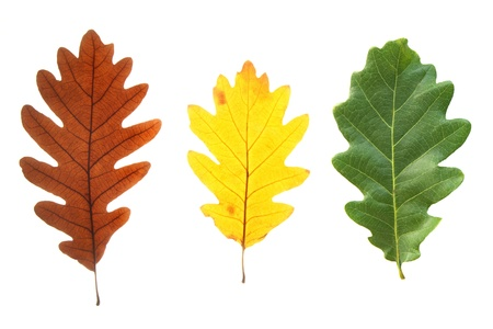Set of colorful oak leaves isolated on white