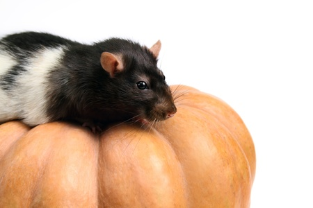 Home rat on the pumpkin - isolated on white, cropped