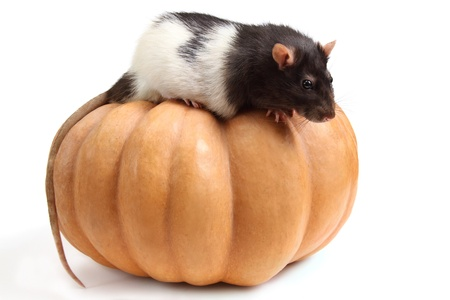 smart home rat on a pumpkin - isolated on white