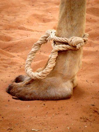 Camel foot tied in robe in desert. photo