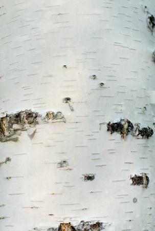 Pr�s d'�corce de bouleau blanc avec de petites fissures