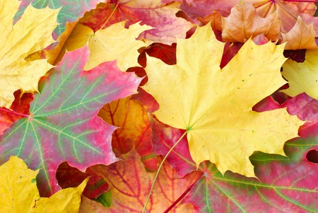 Rouge et jaune �rable feuilles d'automne Banque d'images