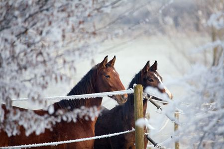 Two horses in a winter landscape, looking over a fence Stock Photo