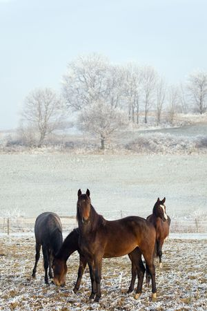 Four horses in a winter landscape, eating Stock Photo - 3437550