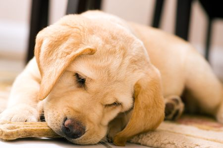 labrador puppy: Cute Labrador Retriever puppy eating a toy bone