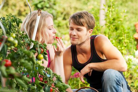 Gardening Couple - man and woman - harvesting and eating tomatoes in their domestic garden on a sunny day photo
