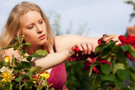 Woman doing garden work cutting the roses at beautifully sunny day photo