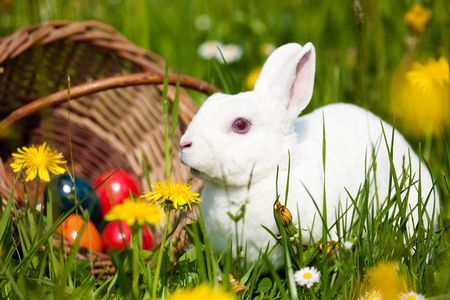 Easter bunny on a beautiful spring meadow with dandelions in front of a basket with Easter eggs photo