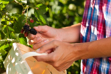 woman only: Woman (only hands) harvesting berries in garden with wooden basket
