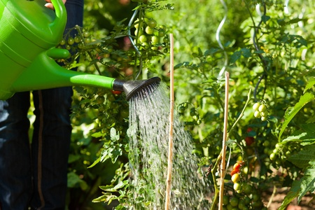 woman only: Gardening in summer - woman (only torso) watering plants with water pot